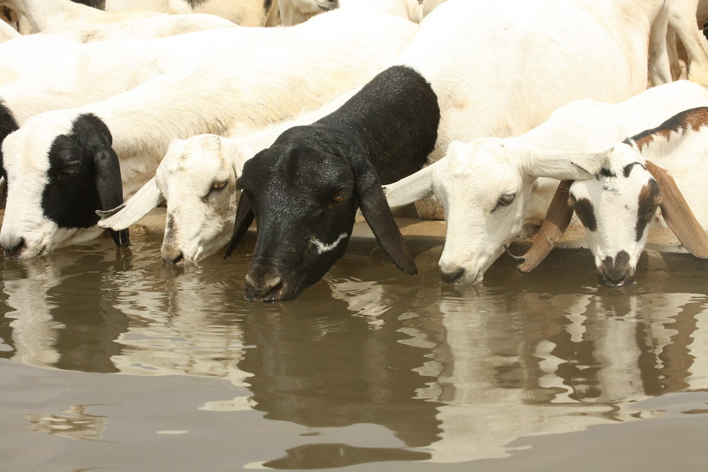 goats drinking water at an oxfam funded borehole goats dri flickr