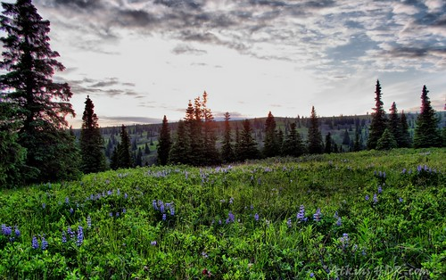 Blue Lupine 2 | by Atkins HDR