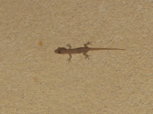 1gecko panama lois | by Contra Costa Times