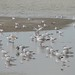 Lake Eyre flood, seabirds 1