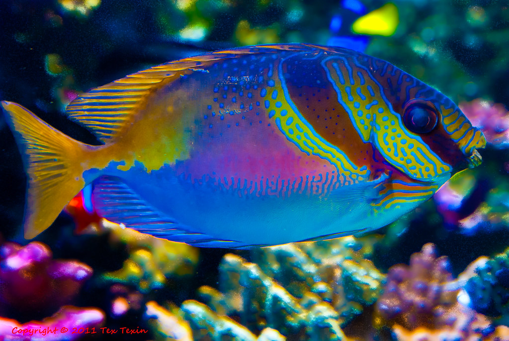 colorful fish at monterey aquarium tex texin flickr