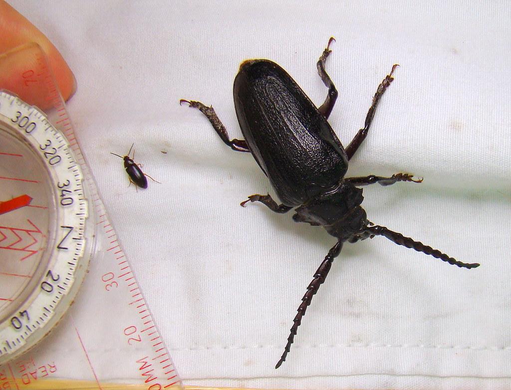 Large beetle prionus laticollis broad necked root borer flickr large beetle prionus laticollis broad necked root borer by anita363 sciox Images