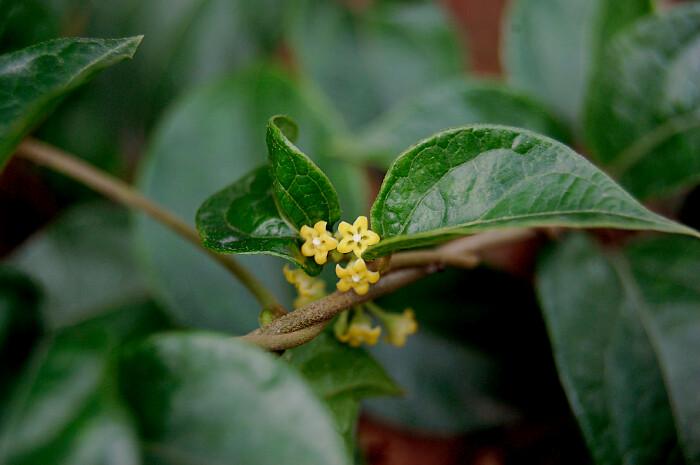 Sugar And Diabetes >> Madhunashini | Flowers of Gymnema sylvestre from Asclepiadac… | Flickr