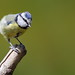 Bluetit, doing nothing but looking Cute
