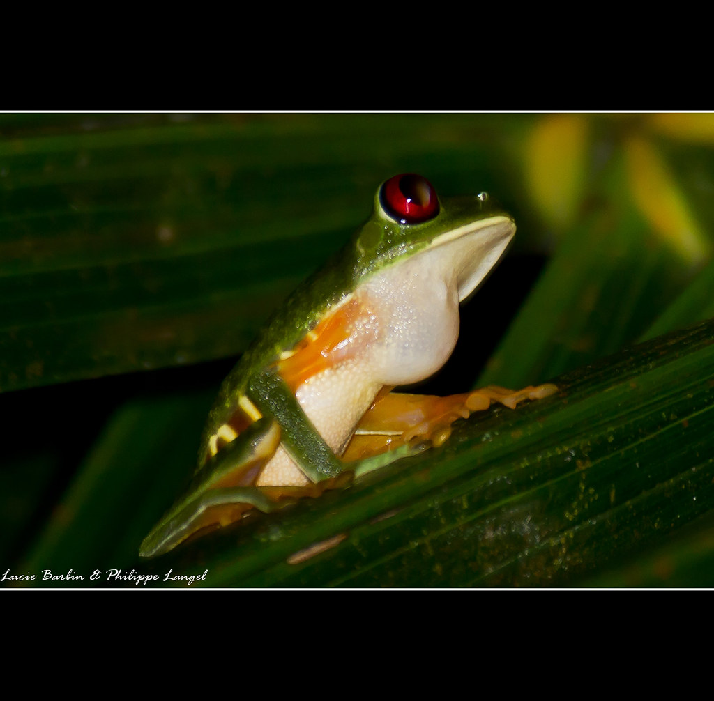 Red-eyed tree frog - Costa Rica | Distance for the shot: 2 ...