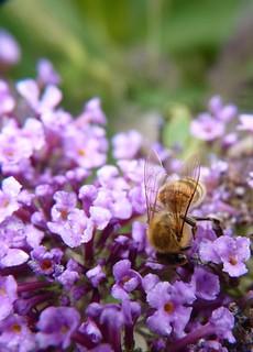 Honey Bee Sugar Cake Recipe