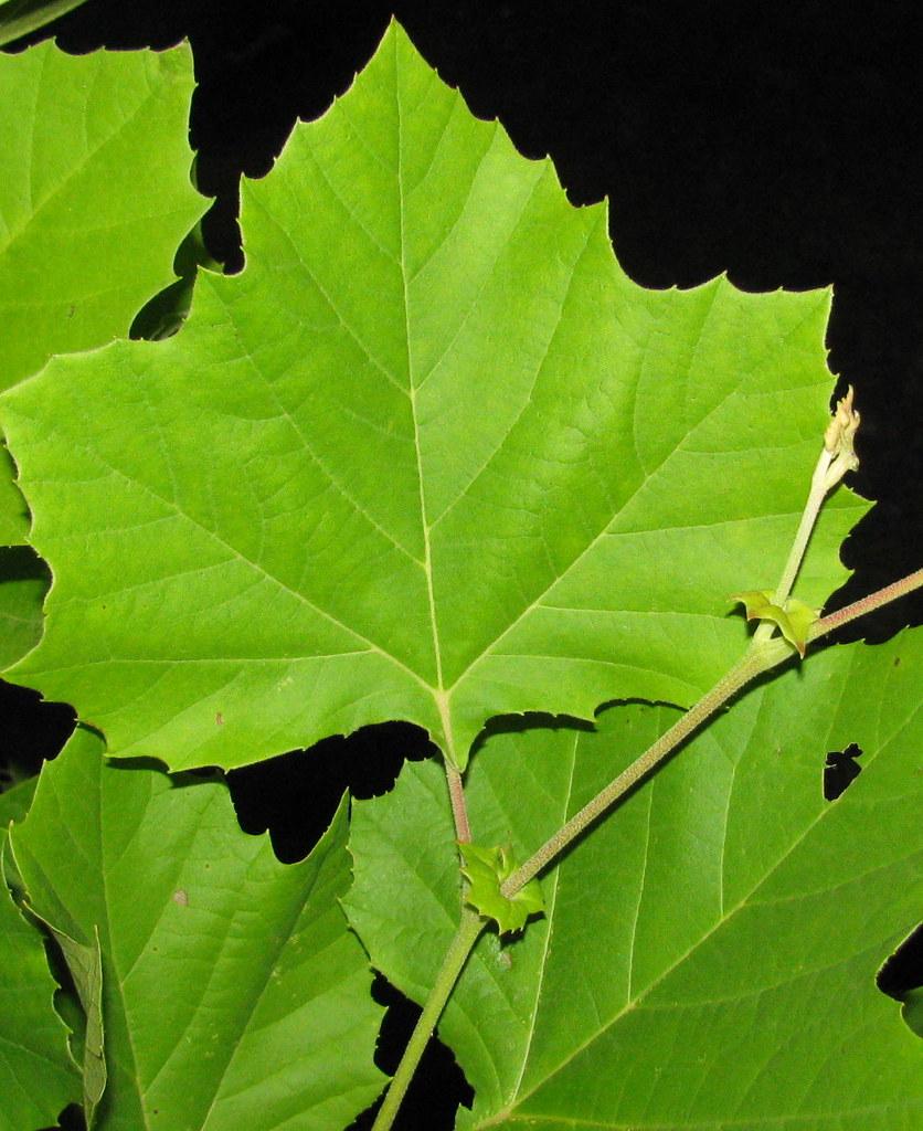 AMERICAN SYCAMORE LEAVES..... | Platanus occidentalis ... Platanus Occidentalis Leaf