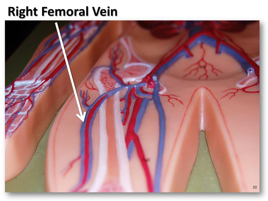 Right Femoral Vein The Anatomy Of The Veins Visual Guide Flickr