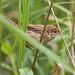 _MG_0011 Reed Warbler  (Acrocephalus scirpaceus), Brandon Marsh, Warwickshire 12Jul11