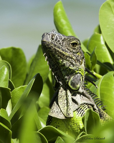Iguana head | by dschmidtphoto