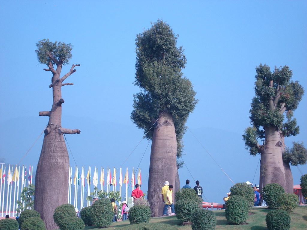 Baobab Trees Adansonia Grandidieri 2 Baobab
