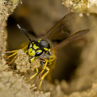 Wasp emerging from nest | by Roland Bogush