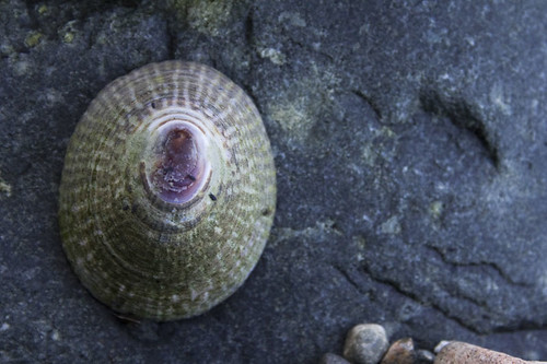 mask limpet | by fog and swell