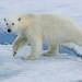 Close-up Polar Bear walking on ice