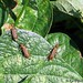 three blister beetles on bean leaves in my kitchen garden