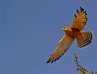 Greater Kestrel. | by LC's Eye (Wild Images of Africa)