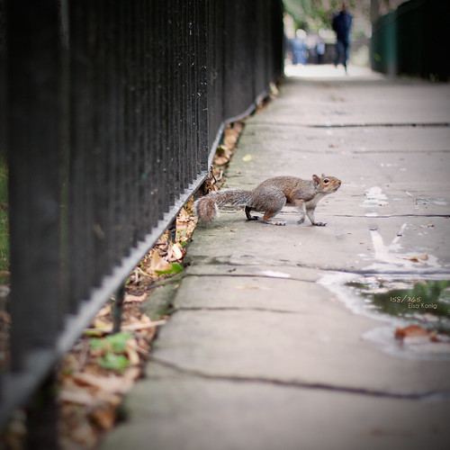 158/365 - Fence Friday: the squirrel edition. | by Elle-za