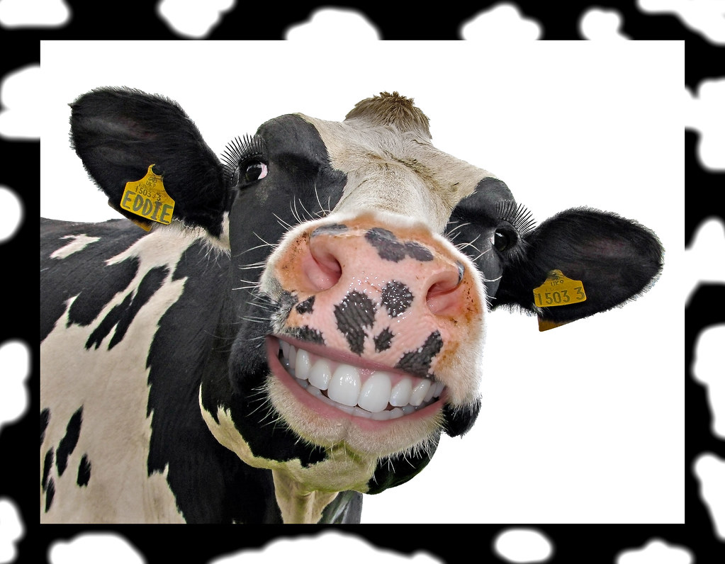 Funny cow smiling - photo#4