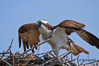 Osprey Nest | by ROCKADEE_Two With Eagles 1951 / Rockey & Dee