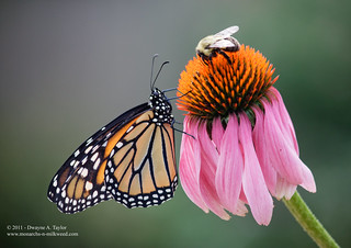 Monarch and Bee | by dandjtaylor2003