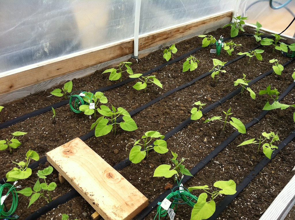 Drip Irrigation Inside Raised Bed Cloche Gail