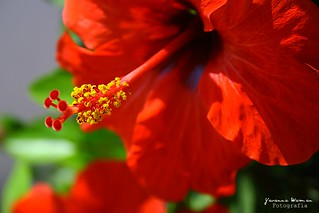 Hibiscus. | by Yavanna Warman {off}