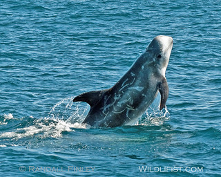 Risso's Dolphin Breach | by Randy Finley