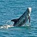 Risso's Dolphin Breach