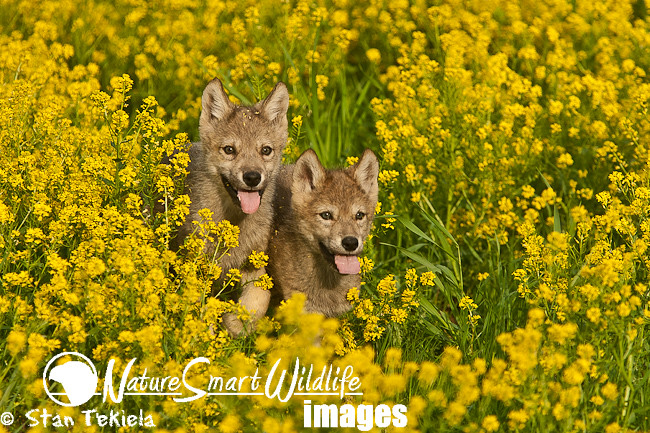 gray wolf pups in yellow flowers tekiela j1v4425 gray wolf flickr. Black Bedroom Furniture Sets. Home Design Ideas