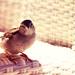 cute little bird ♥ {EXPLORED}