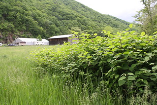 Expansion of Japanese Knotweed | by U. S. Fish and Wildlife Service - Northeast Region