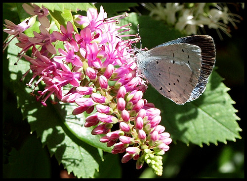 Holly Blue Butterfly on Hebe | by kcm76