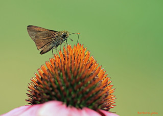 Skipper Butterfly | by naturethroughmyeyes.com