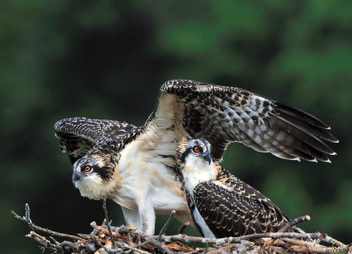 Two Young Ospreys | by JRIDLEY1
