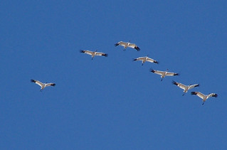 Whooping cranes in flight | by USFWS Mountain Prairie