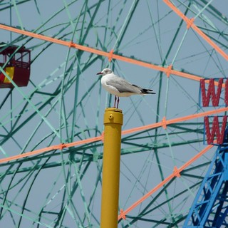 Gray-hooded Gull is not impressed by your Wonder Wheel | by Dendroica cerulea