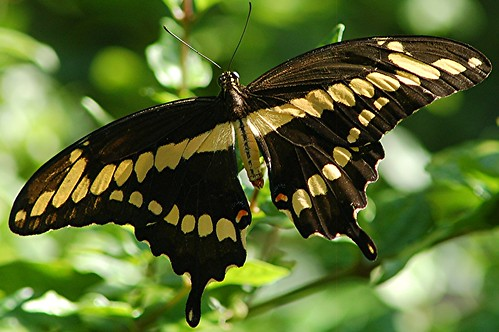 Giant Swallowtail... one of the largest and most dramatic butterflies in North America! | by jungle mama
