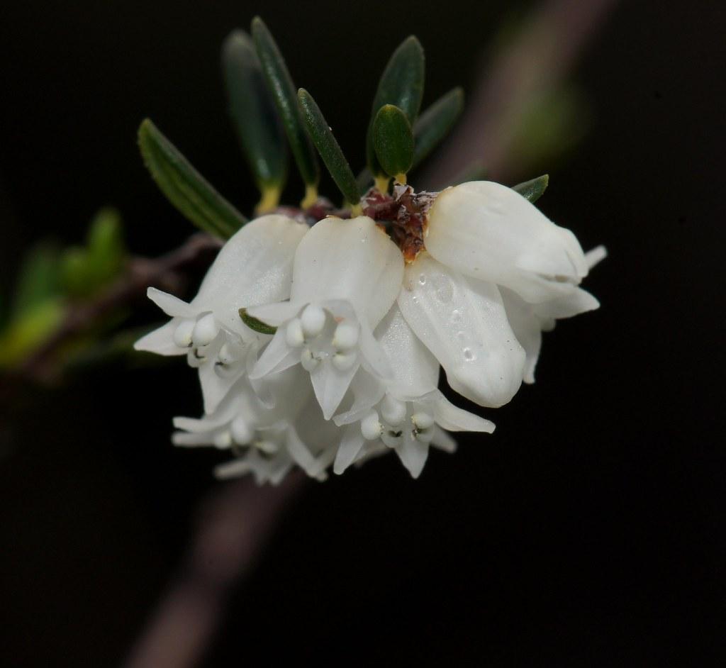 White Tubular Flowers Cryptandra Arbutiflora Fenzl Var A Flickr