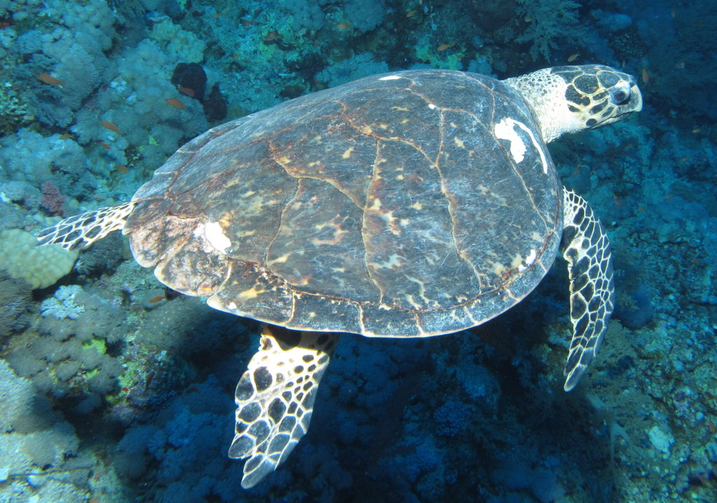 Image Result For Hawksbill Sea Turtle