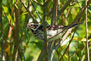 IMG_1179 Reed Bunting | by Jim Crozier
