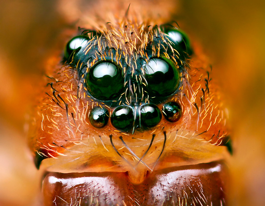 Wolf spider eyes glow - photo#15
