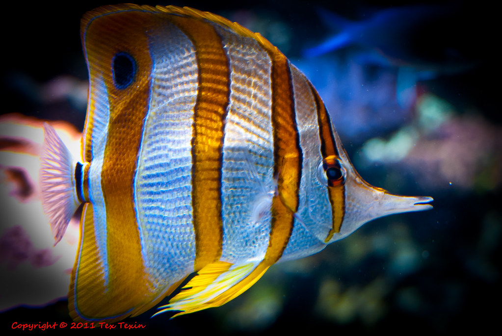 White Orange Striped Fish At Monterey Aquarium Tex Texin Flickr