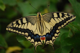 Common Swallowtail / Papilio machaon | by justavessel