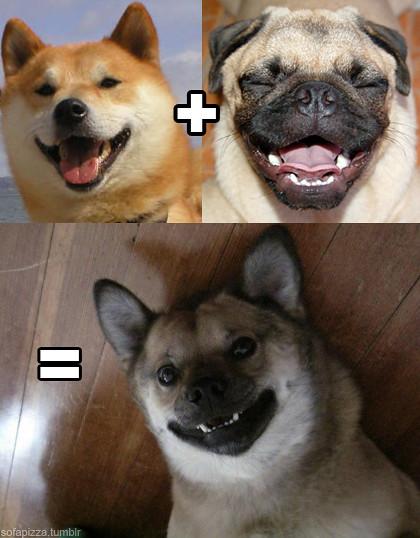 shiba-inu-pug-cross-breed.jpg | shiba.fr shiba croisé ...