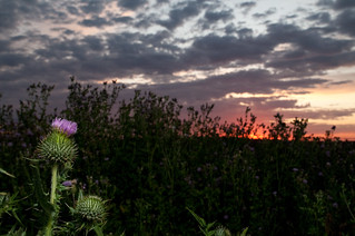 Thistle | by Greg Nuspel