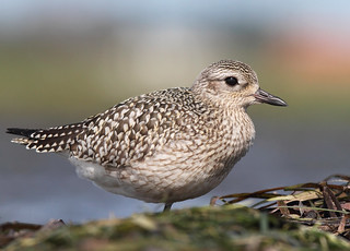 Black-bellied Plover | by Canonshooterman