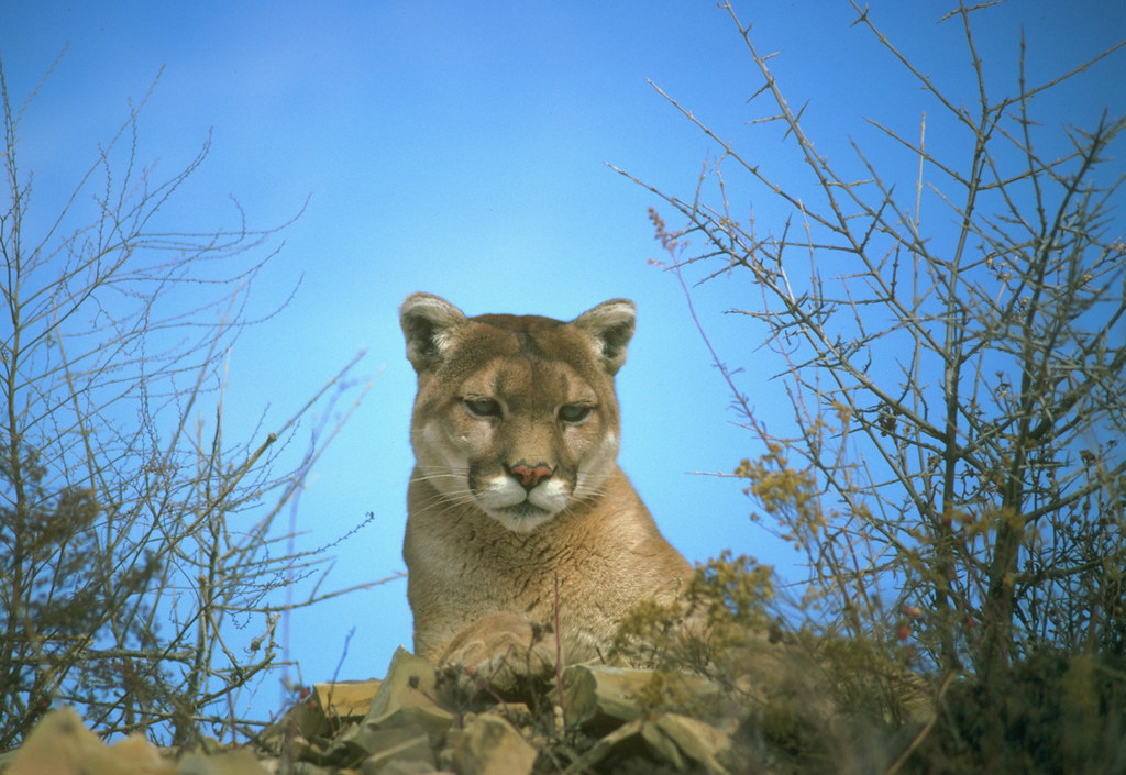 Mountain lion california department of fish and game for California department of fish and game