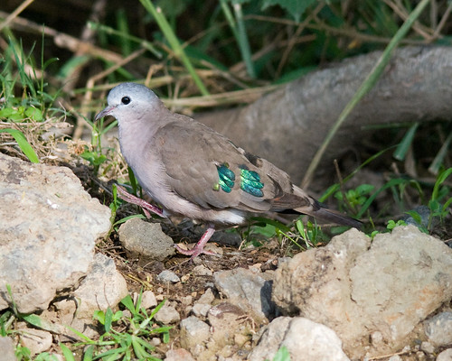 Emerald-spotted Wood Dove | by dermoidhome