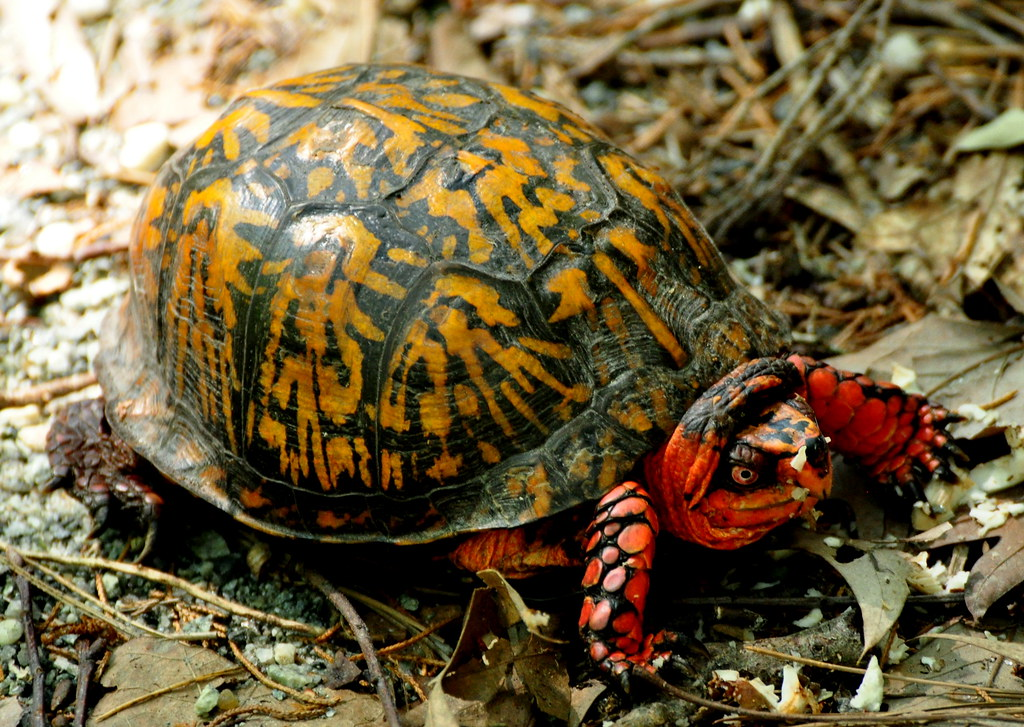 Turtle Shell Red Turtle Yellow Shell