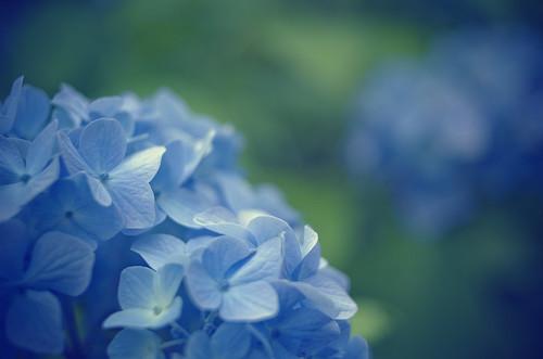 Hydrangea (紫陽花)